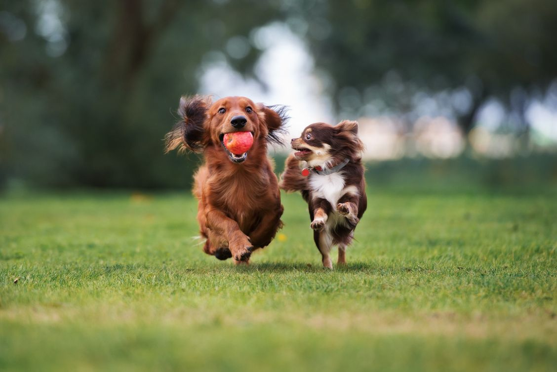 a dachshund and chihuahua running and playing fetch in a backyard near Edmonton
